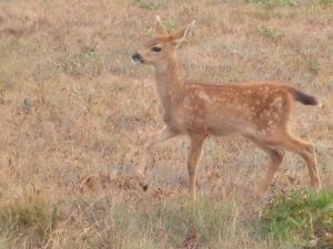 Deer in Bellingham