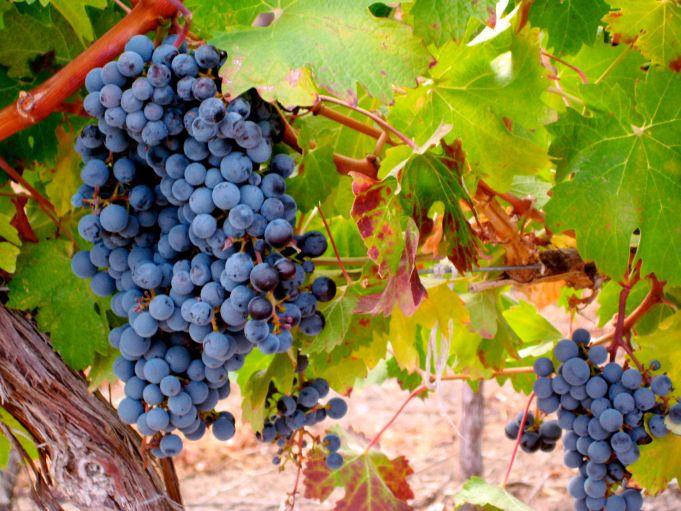 Washington Vineyard