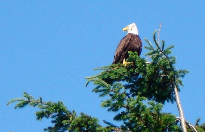 Bellingham eagle